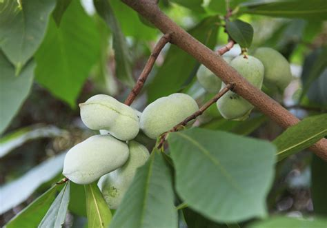 paw paw fruit tree pawpaw tree why you should consider growing one