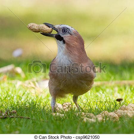stock photography of a jay bird garrulus glandarius is