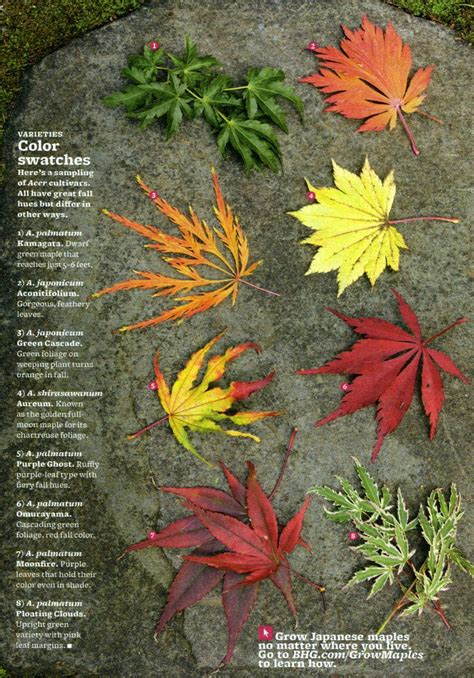 different types of japanese maples i love japanese