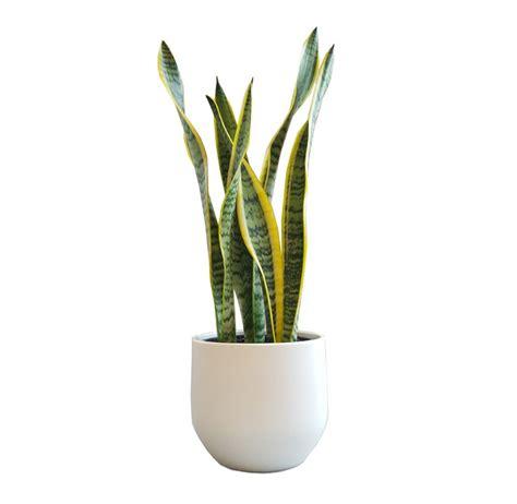 White Plant Pots Classic Snake Plant In White Pot Chic Plantandpot Nz