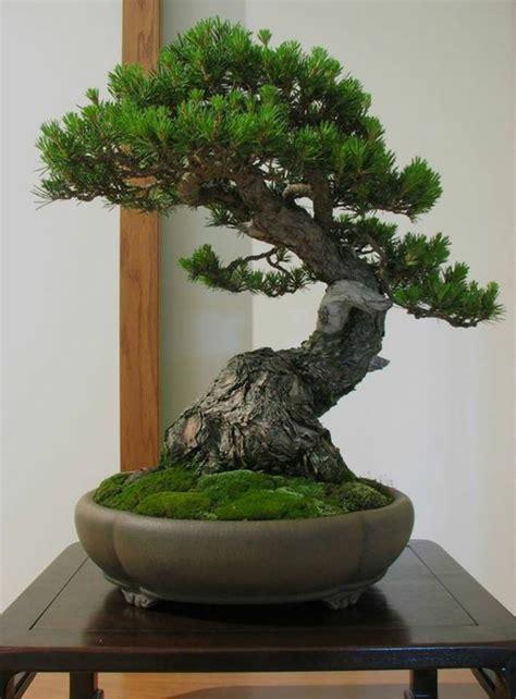 Bonsai Baum Arten 6733 bonsai baum arten basiswissen ber den bonsai baum