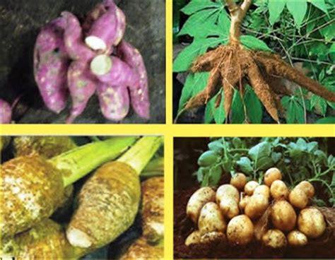 pengertian tanaman pangan contoh  ciri cirinya