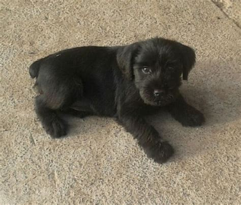 standard schnauzer puppies for sale standard schnauzer puppies clasf