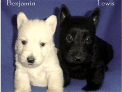 scottish terrier puppies for sale ohio scottish terrier puppies for sale