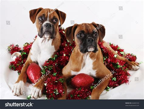 boxer dog xmas decoration two boxer puppies posing with decorations stock photo 66465103