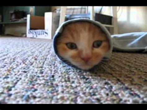 gatos chistosos  divertidos youtube