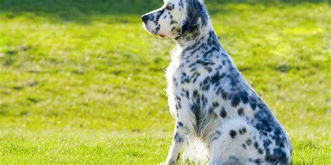 alimentazione setter inglese setter inglese il da caccia consigli animali domestici