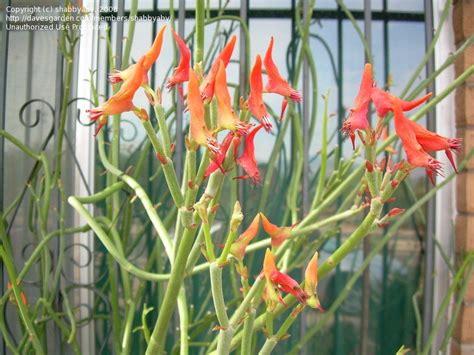 slipper plants for sale plantfiles pictures euphorbia species slipper plant