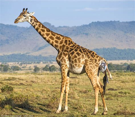 back legs giving out giraffe gives birth and the newborn finds getting to its a bit difficult