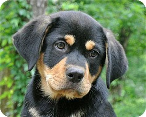 rottweiler labrador retriever mix ronnie adopted puppy charlemont ma rottweiler labrador retriever mix