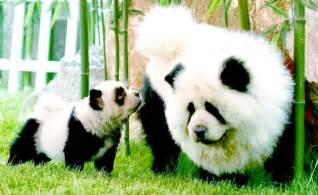chow chow puppies panda chow chow dogs pandas circus 700x430 jpg chion panda chows panda