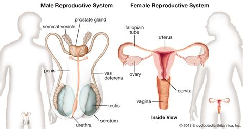 diagram reproductive organs diagrams of reproductive system diagram site