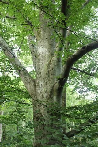 description of a tree file beech tree jpg