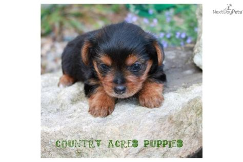 yorkie puppies for sale in bloomington il terrier yorkie for sale for 700 near bloomington normal illinois
