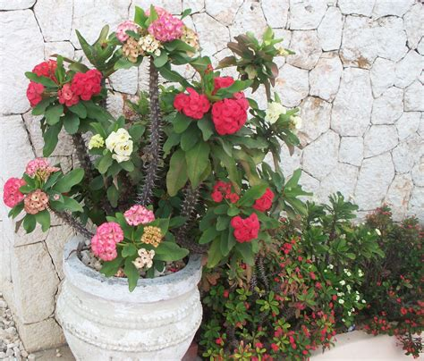 Plants That Require Little Sun by Crown Of Thorns Suz And Tell