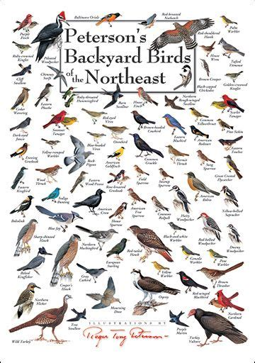 backyard bird identifier peterson s backyard birds of the northeast poster great