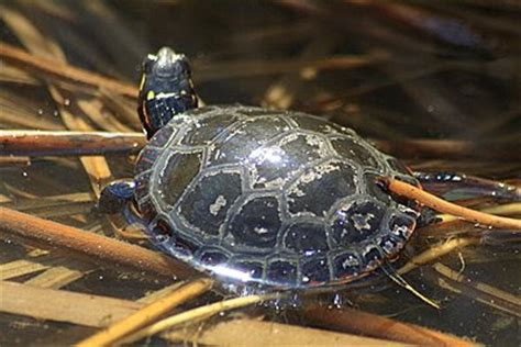 Turtles Shedding by The Ohio Nature What Is Your Favorite Animal