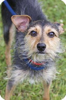yorkie italian greyhound mix new orleans la yorkie terrier italian greyhound mix meet sylvia a