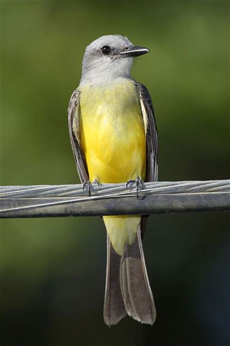 birds of southern arizona tropical king bird breeds from southern arizona through to central america s america