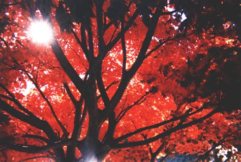 Amio Id Gamis White Maple free maple stock photo freeimages