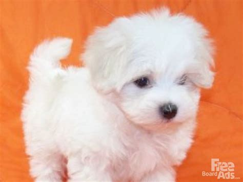 teacup maltese puppies for sale in nc white boxer rescue nc white free engine image for user manual