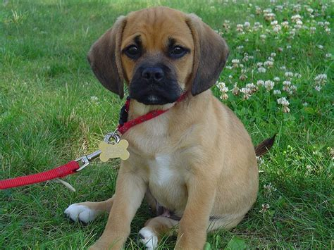 pug puggle mix pug and beagle mix
