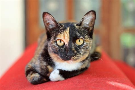 calico cat names purrfect cat names