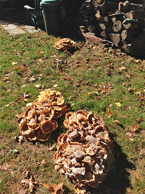 mushrooms growing in backyard wellesley mushroom invasion the swellesley report news