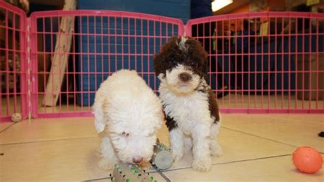 doodle puppies for sale in ga lovely goldendoodle puppies for sale in atlanta