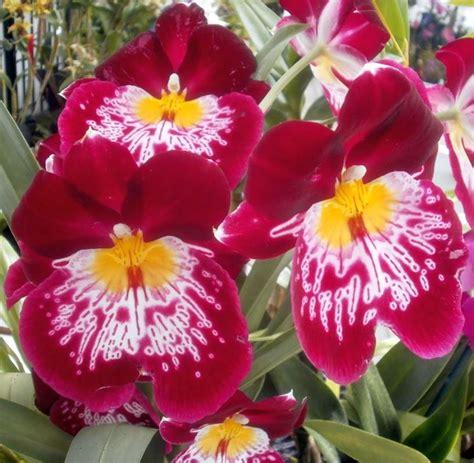 panse fiore orchidea pans 232 miltoniopsis miltoniopsis orchidee