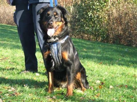 border collie x rottweiler jaffa 22 month rottweiler cross collie for adoption