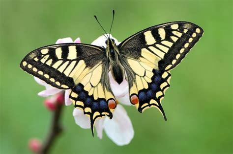 tigre y mariposa imagenes mariposa caracter 237 sticas tipos qu 233 comen d 243 nde viven