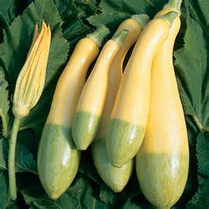 Yellow Annual Flowers Courgette Zephyr F1 Hybrid Pumpkin Squash Amp Courgette