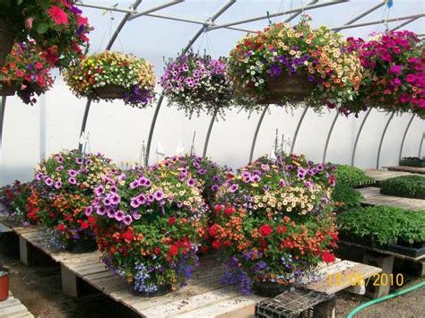 good article on pruning petunias garden pinterest hanging baskets baskets and petunias