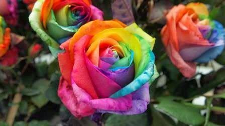 Bunga Bebybreat Asli Dan Fresh bibit bunga mawar pelangi asli atau palsu rangkuman cara bertanam lengkap