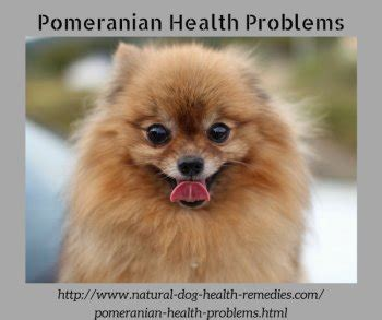 pomeranian issues common pomeranian health problems health by breed