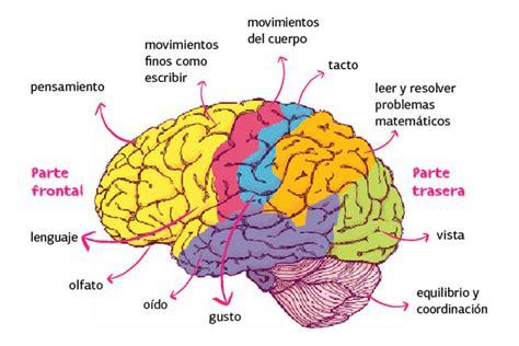 imagenes de el cerebro humano image gallery el cerebro