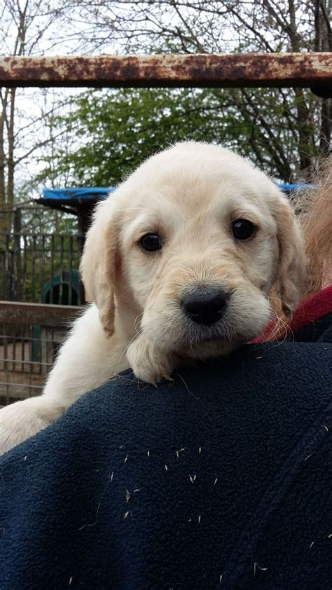 labradoodles puppies for sale west sussex labradoodle dor puppies horsham west sussex pets4homes