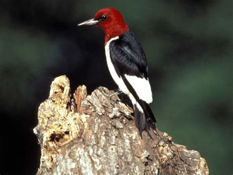 Red Headed Woodpecker Red Headed Woodpecker Pictures | red headed woodpecker melanerpes erythrocephalus