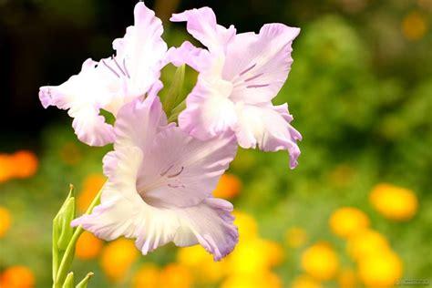 gladioli fiori gladiolo gladiolus gladiolus bulbi gladiolo