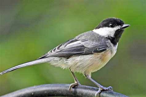 backyard chirper attracting birds with pishing into the air