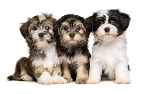 havanese tricks havanese breeders all about havanese breeders