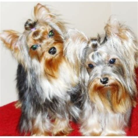 teacup yorkie rescue illinois terrier yorkie breeders in illinois freedoglistings