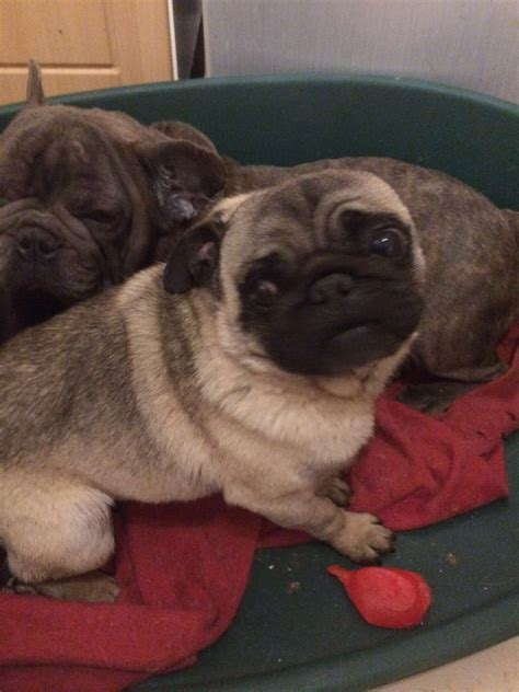 boy pugs for sale pug for sale wirral merseyside pets4homes
