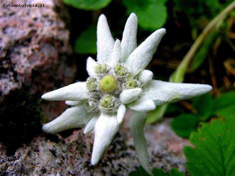 la stella alpina fiore stella alpina
