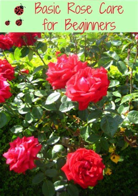 basic rose care for beginners how to care for roses moms need to know