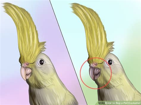 how to tell a 4yr how babies come out of mommys tummy how to buy a pet cockatiel 11 steps with pictures wikihow