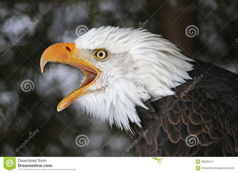 screeching bald eagle stock images image 38626214