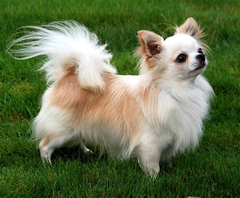 haired chihuahua puppy apple chihuahua care facts and pictures