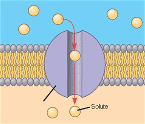 a protein channel is a transport protein that quia ap chapter 7 membrane structure and function